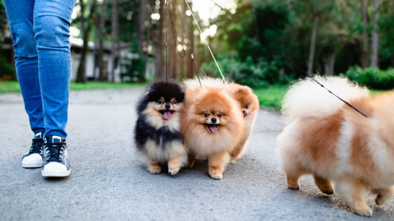 Dog Walker With Puppies Pomeranians