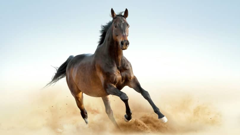 Thoroughbred Horses Running Dust Brown